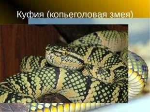 Куфия (копьеголовая змея)