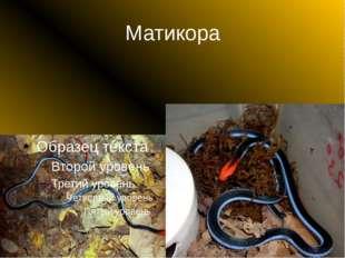Матикора
