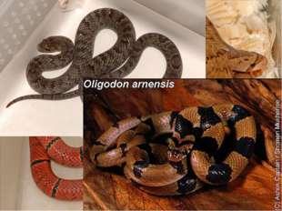 Олигодон