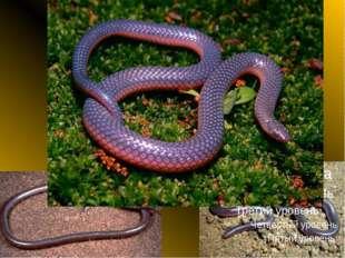 Узкоротая змея