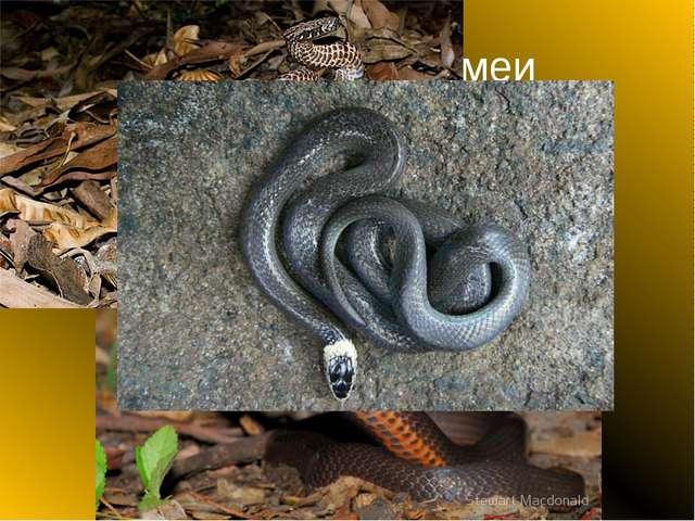 Венценосные змеи