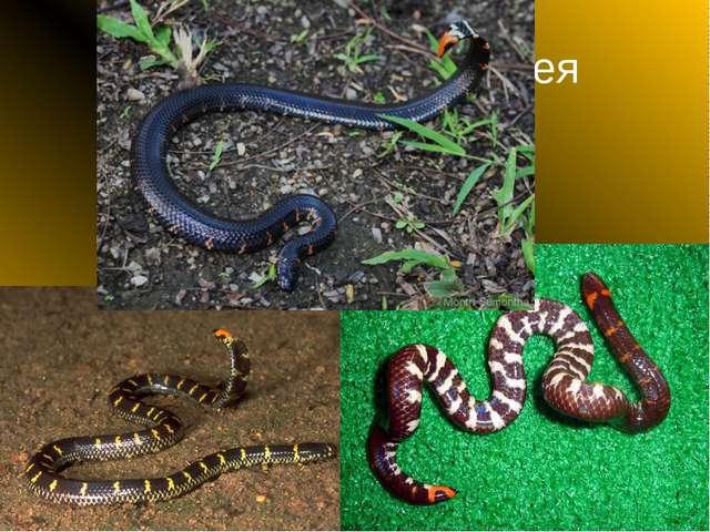 Цилиндрическая змея