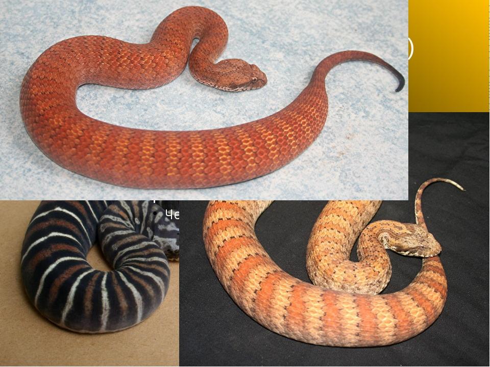 Акантофис (смертельная змея)
