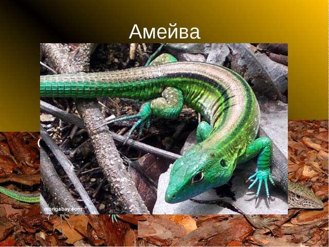 Амейва