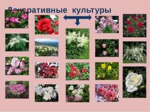 Эфиромасличные культуры Эфиромасличными эти растения стали называть в XIX век