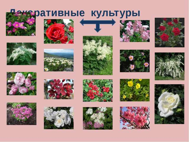 Эфиромасличные культуры Эфиромасличными эти растения стали называть в XIX век...