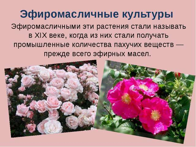 Шиповник – многолетнее культурное и дикорастущее растение. Своё русское назва...