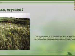 Ковыль перистый Многолетнее травянистое растение высотой до 100 см. На севере