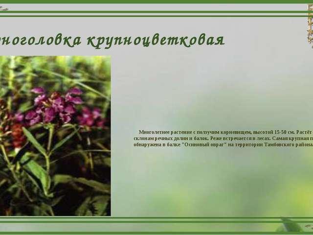 Черноголовка крупноцветковая Многолетнее растение с ползучим корневищем, высо...