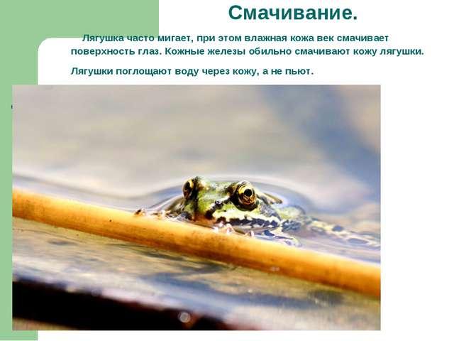 Смачивание. Лягушка часто мигает, при этом влажная кожа век смачивает поверх...