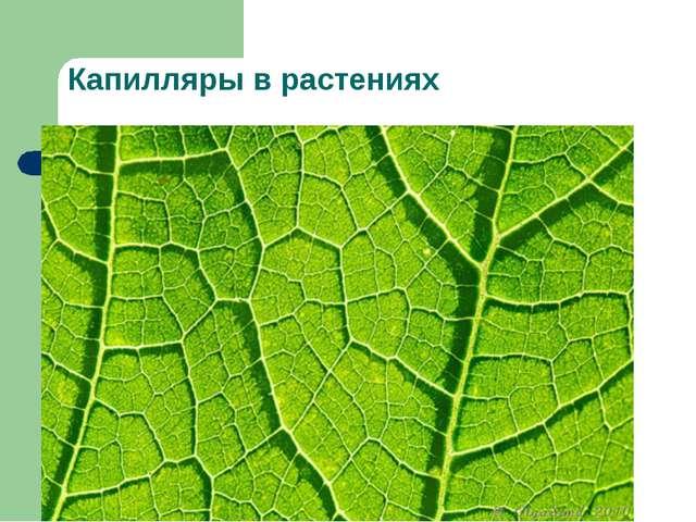 Капилляры в растениях
