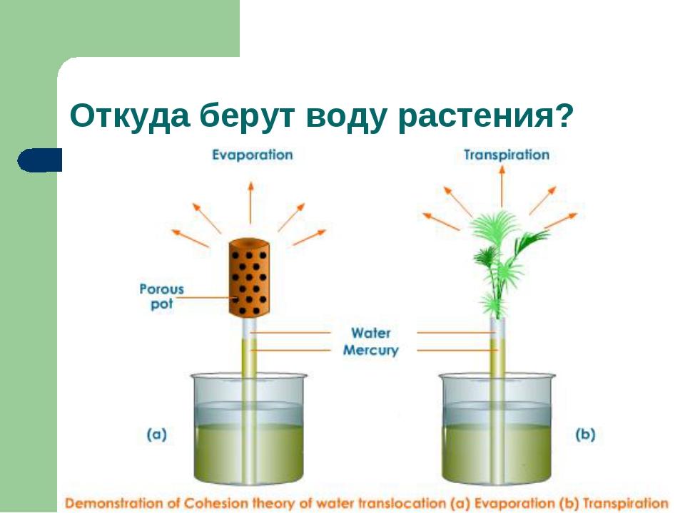Откуда берут воду растения?