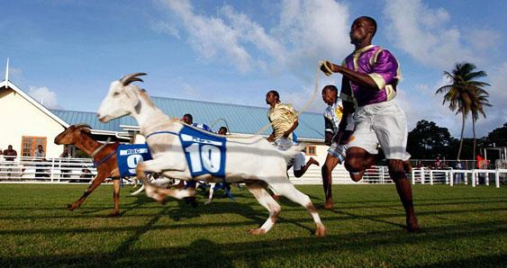 Гонки коз и голубых крабов, Тринидад и Тобаго