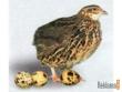 Перепел Домашние животные и птицы