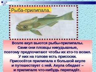 Возле акул вьются рыбы-прилипалы. Сами они пловцы никудышные, поэтому предпоч