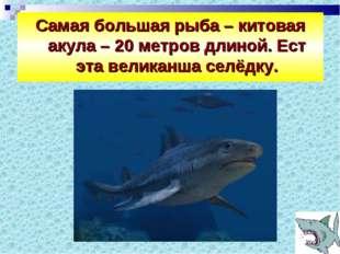 Самая большая рыба – китовая акула – 20 метров длиной. Ест эта великанша селё