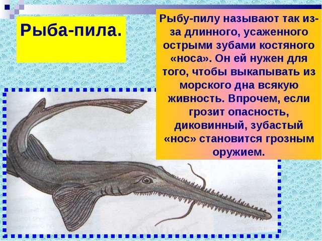 Рыба-пила. Рыбу-пилу называют так из-за длинного, усаженного острыми зубами к...