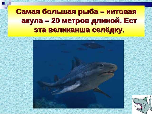 Самая большая рыба – китовая акула – 20 метров длиной. Ест эта великанша селё...