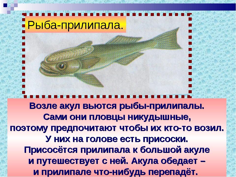 Возле акул вьются рыбы-прилипалы. Сами они пловцы никудышные, поэтому предпоч...