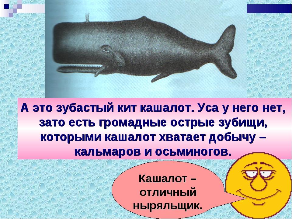 А это зубастый кит кашалот. Уса у него нет, зато есть громадные острые зубищи...