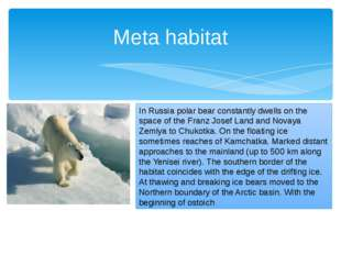 Meta habitat In Russia polar bear constantly dwells on the space of the Franz