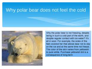 Why polar bear does not feel the cold Why the polar bear is not freezing, des