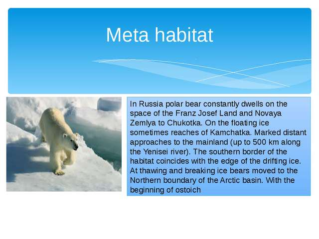 Meta habitat In Russia polar bear constantly dwells on the space of the Franz...