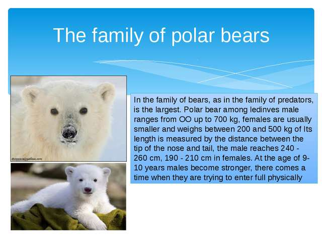 In the family of bears, as in the family of predators, is the largest. Polar...