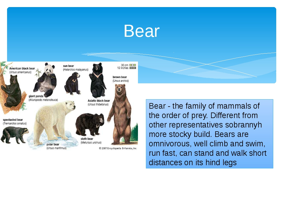 Bear - the family of mammals of the order of prey. Different from other repre...
