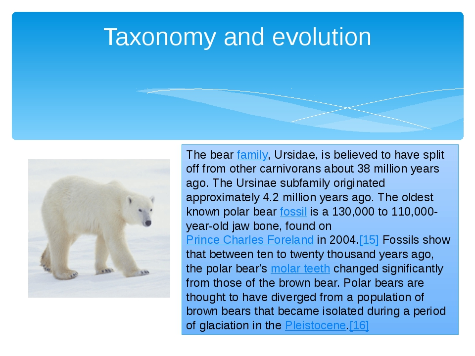 Taxonomy and evolution The bear family, Ursidae, is believed to have split of...