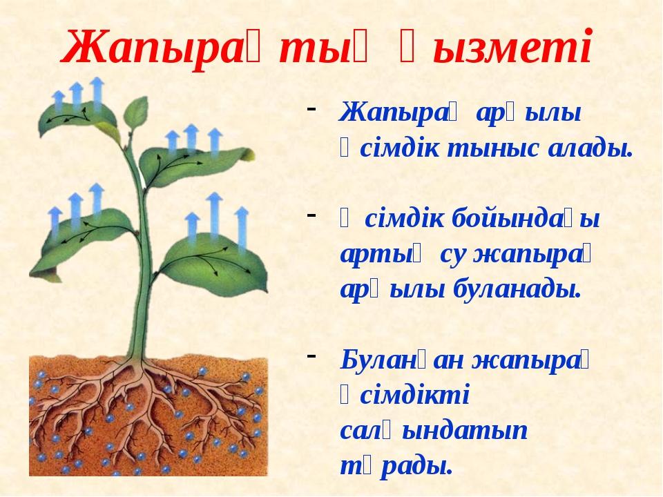 Жапырақ арқылы өсімдік тыныс алады. Өсімдік бойындағы артық су жапырақ арқылы...