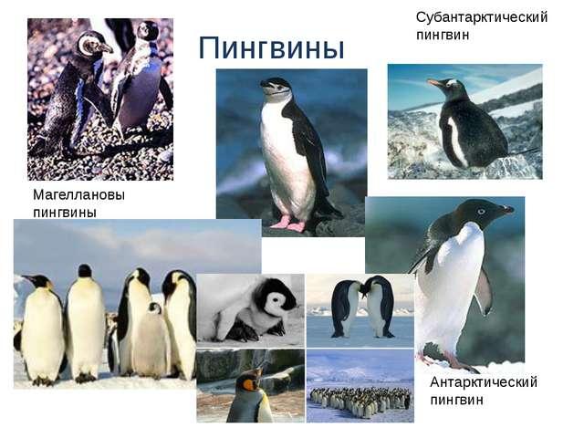 Пингвины Антарктический пингвин Магеллановы пингвины Субантарктический пингвин
