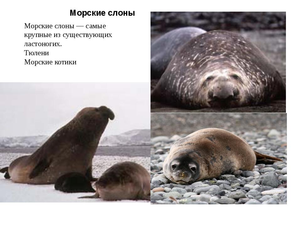 Морские слоны Морские слоны — самые крупные из существующих ластоногих. Тюлен...