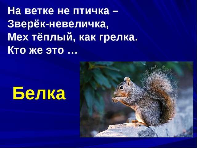 На ветке не птичка – Зверёк-невеличка, Мех тёплый, как грелка. Кто же это … Б...