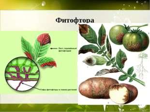 Фитофтора