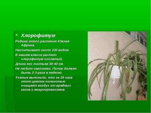 Хлорофитум Родина этого растения Южная Африка. Насчитывает около 220 видов. В