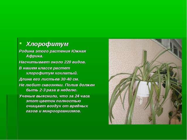 Хлорофитум Родина этого растения Южная Африка. Насчитывает около 220 видов. В...