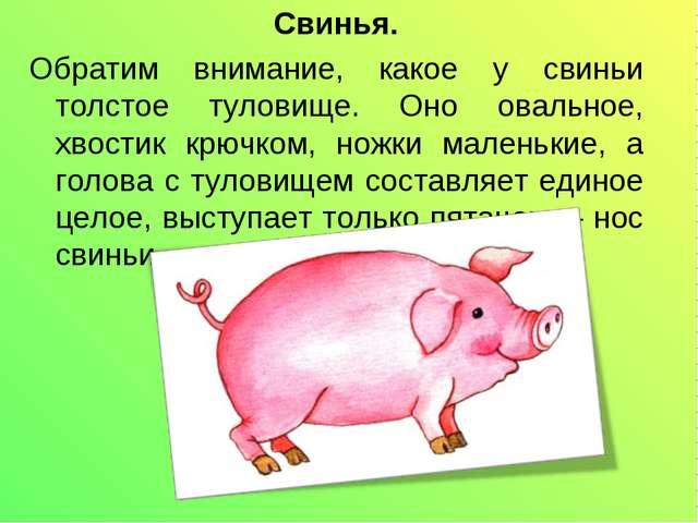 Свинья. Обратим внимание, какое у свиньи толстое туловище. Оно овальное, хвос...