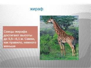 жираф Самцы жирафа достигают высоты до 5,5—6,1м. Самки, как правило, немного
