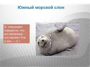 Южный морской слон В описаниях говорится, что его величина составляет 9 м, а