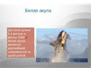 Белая акула Достигая длины 6,4 метров и массы 2268кг, белая акула является к