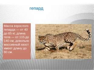 гепард Масса взрослого гепарда — от 40 до 65 кг, длина тела — от 115 до 140 с