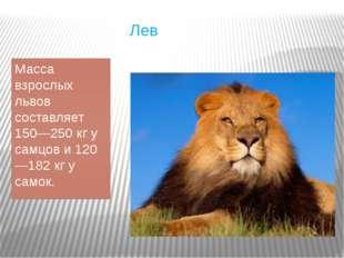 Лев Масса взрослых львов составляет 150—250кг у самцов и 120—182кг у самок.