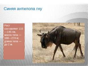 Синяя антилопа гну Рост составляет 115—145см, масса тела— 168—274кг, длина