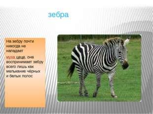 зебра На зебру почти никогда не нападает муха цеце, она воспринимает зебру в