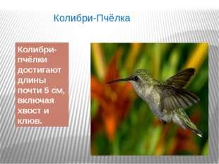 Колибри-Пчёлка Колибри-пчёлки достигают длины почти 5 см, включая хвост и клюв.