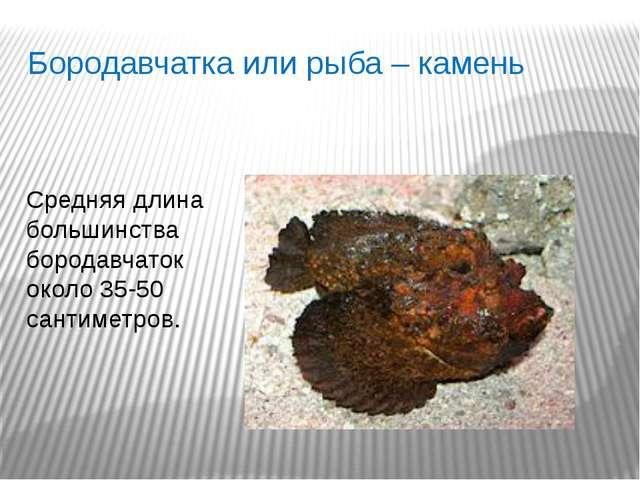 Бородавчатка или рыба – камень Средняя длина большинства бородавчаток около 3...