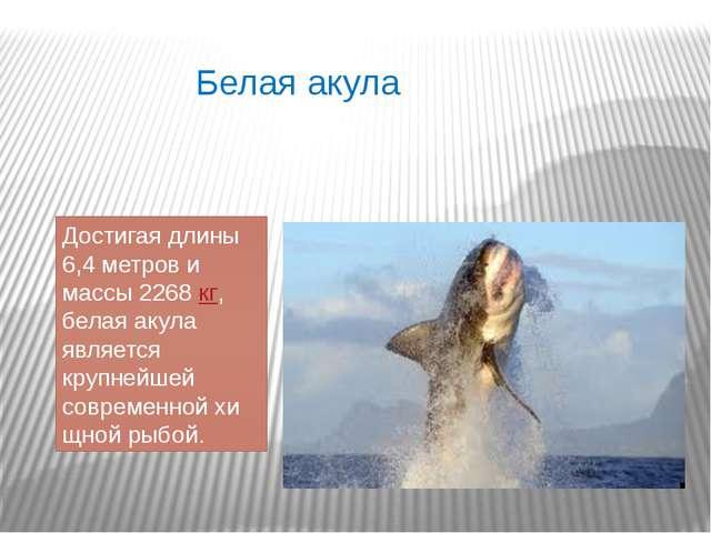 Белая акула Достигая длины 6,4 метров и массы 2268кг, белая акула является к...