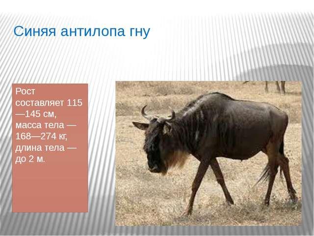 Синяя антилопа гну Рост составляет 115—145см, масса тела— 168—274кг, длина...