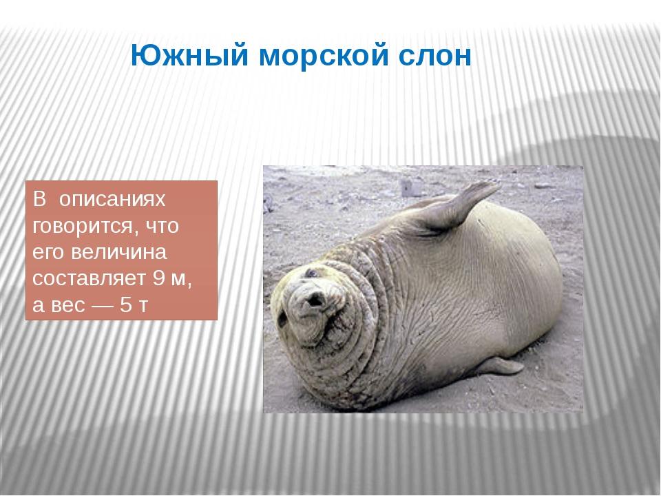 Южный морской слон В описаниях говорится, что его величина составляет 9 м, а...